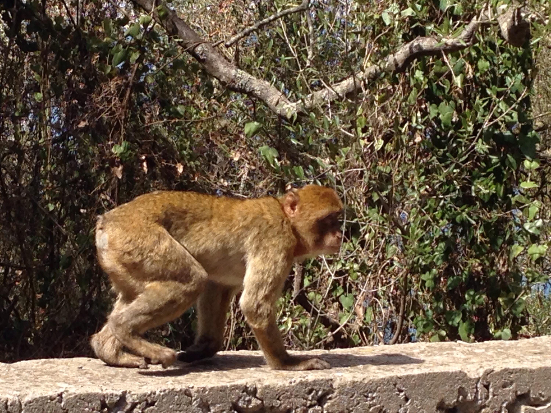 Affe Monkey www.diewunderbarewelt.com Gibraltar