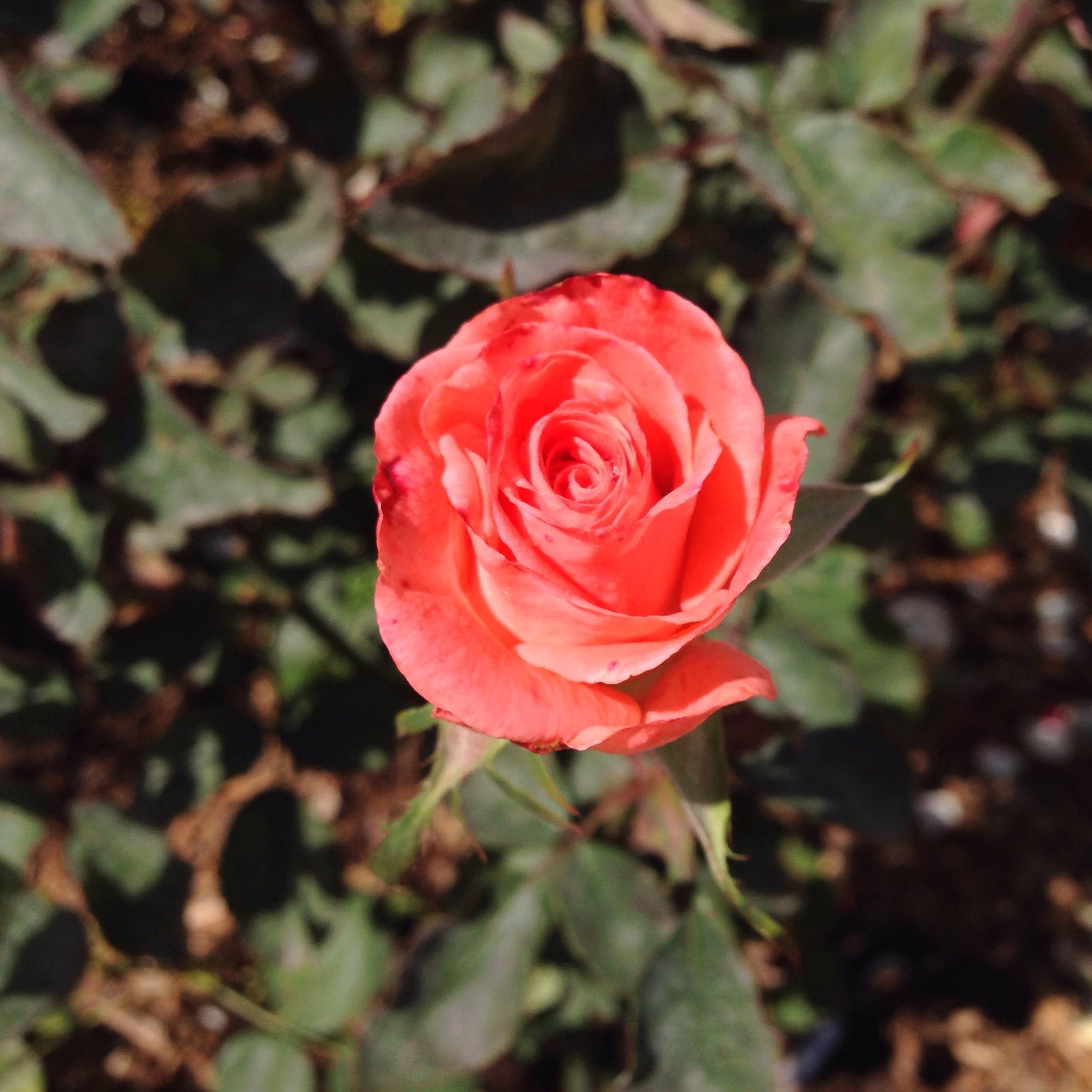 Rose Obidos www.diewunderbarewelt.com